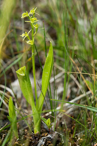 Liparis loeselii, Gulyxne, Orchidaceae, Orkidéer