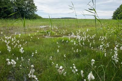 Eriophorum latifolium, Gräsull, Cyperaceae, Halvgräs
