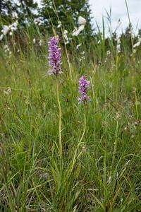 Dactylorhiza maculata ssp. maculata, Jungfru Marie nycklar, Orchidaceae, Orkidéer