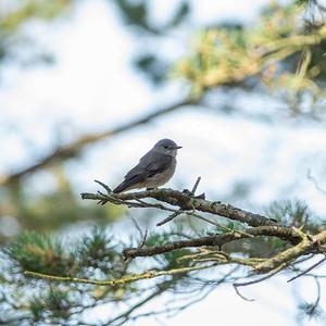Muscicapa striata, Grå flugsnappare, Spotted Flycatcher