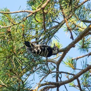 Dendrocopos minor, Mindre hackspett, Lesser Spotted Woodpecker