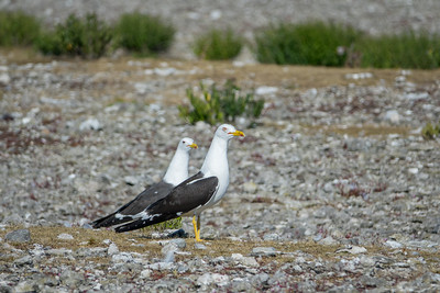 Larus marinus, Havstrut, Great Black-backed Gull