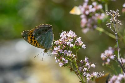 Argynnis paphia, Silverstreckad pärlemorfjäril