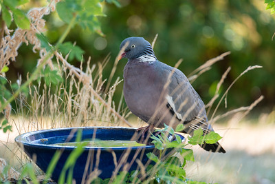 Columba palumbus, Ringduva, Common Wood Pigeon