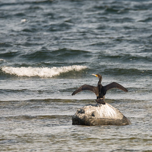 Phalacrocorax carbo, Storskarv, Great Cormorant