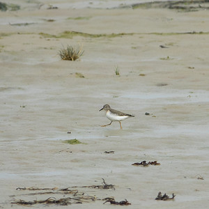 Calidris temminckii, Mosnäppa, Temminck's Stint