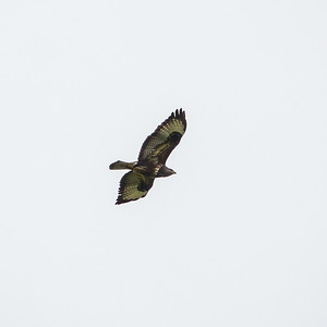 Buteo buteo, Ormvråk, Common Buzzard