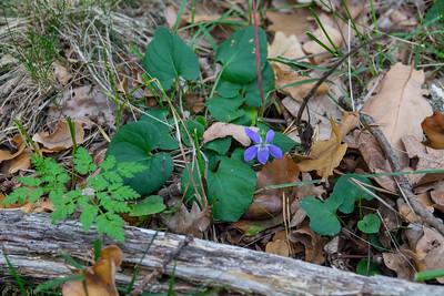 Viola riviniana, Skogsviol, Violaceae, Violväxter
