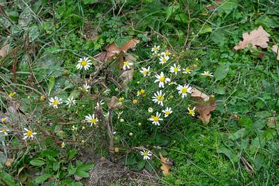 Tripleurospermum inodorum, Baldersbrå, Asteraceae, Korgblommiga