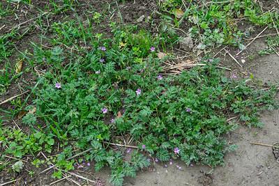 Erodium cicutarium, Skatnäva, Geraniaceae, Näveväxter