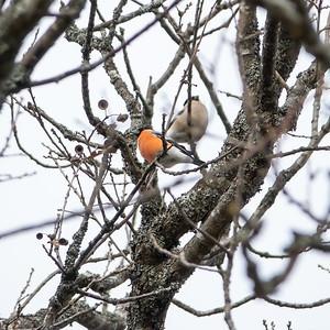 Pyrrhula pyrrhula, Domherre, Eurasian Bullfinch