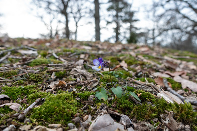Viola tricolor, Styvmorsviol, Violaceae, Violväxter