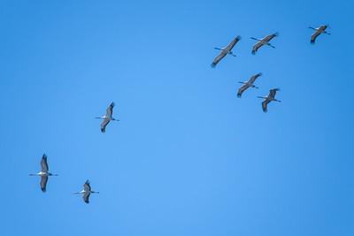 Grus grus, Trana, Common Crane