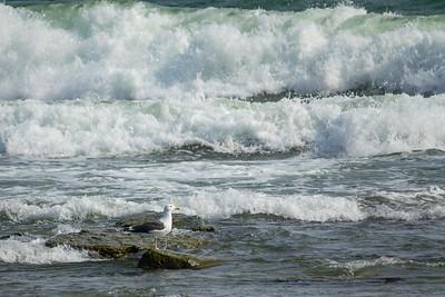 Larus marinus, Havstrut, Great Black-backed Gull