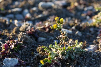 Senecio vulgaris, Korsört, Asteraceae, Korgblommiga