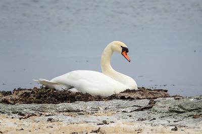 Cygnus olor, Knölsvan, Mute Swan