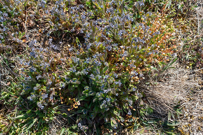 Myosotis ramosissima, Backförgätmigej, Boraginaceae, Strävbladiga