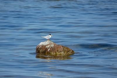 Sterna albifrons, Småtärna, Little Tern