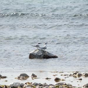 Thalasseus sandvicensis, Kentsk tärna, Sandwich Tern
