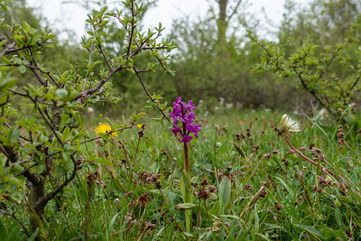 Orchis mascula, Sankt Pers nycklar, Orchidaceae, Orkidéer