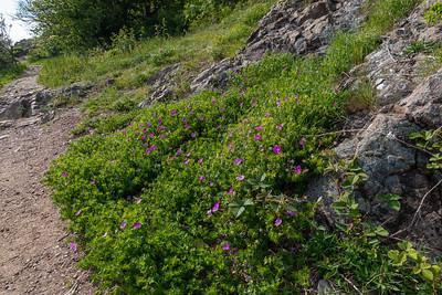 Geranium sanguineum, Blodnäva, Geraniaceae, Näveväxter