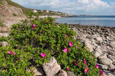Rosa rugosa , Vresros, Rosaceae, Rosväxter