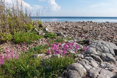 Viscaria vulgaris, Tjärblomster, Caryophyllaceae, Nejlikväxter