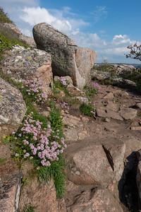 Armeria maritima, trift, Plumbaginaceae, Triftväxter
