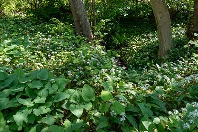 Allium ursinum, Ramslök, Amaryllidaceae, Amaryllisväxter