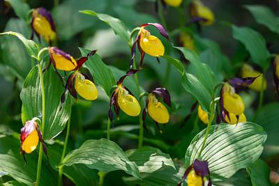 Cypripedium calceolus , Guckusko, Orchidaceae, Orkidéer