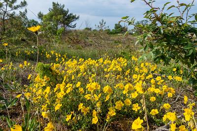 Helianthemum nummularium, Solvända, Cistaceae, Solvändeväxter