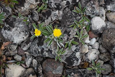 Pilosella officinarum, Gråfibbla, Asteraceae, Korgblommiga