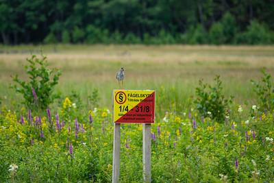 Tringa totanus, Rödbena, Common Redshank