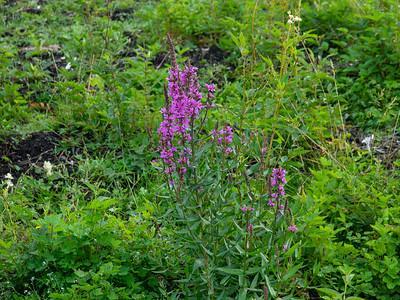 Lythrum salicaria, Fackelblomster, Lythraceae, Fackelblomsterväxter