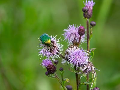 Cetonia aurata, Gräsgrön guldbage, Cirsium arvense , Åkertistel, Asteraceae, Korgblommiga