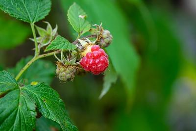 Rubus idaeus, Hallon, Rosaceae, Rosväxter