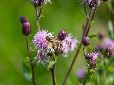 Cirsium arvense , Åkertistel, Asteraceae, Korgblommiga