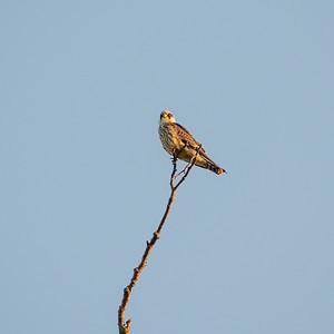 Falco subbuteo, Lärkfalk, Eurasian Hobby