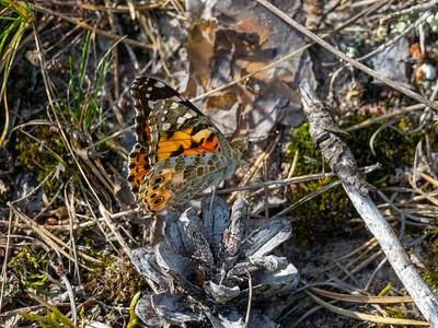 Cynthia cardui, Tistelfjäril, Nymphalidae, Praktfjärilar