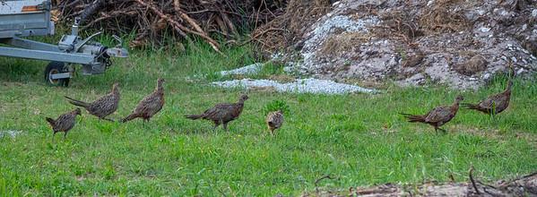 Phasianus colchicus, Fasan, Common Pheasant