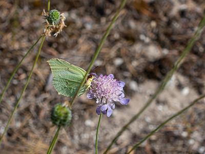 Gonepteryx rhamni, Citronfjäril, Pieridae, Vittfjärilar