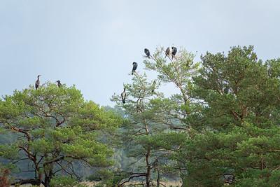 Phalacrocorax carbo, Storskarv, Great Cormorant