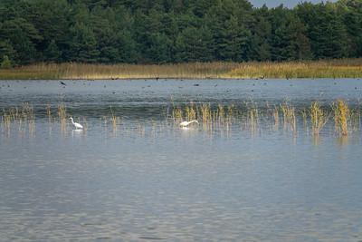 Ardea alba, Ägretthäger, Great Egret