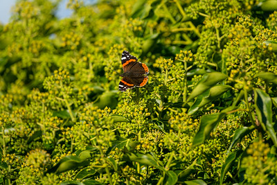 Vanessa atalanta, Amiral, Nymphalidae, Praktfjärilar