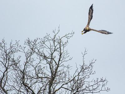 Haliaeetus albicilla, Havsörn, White-tailed Eagle