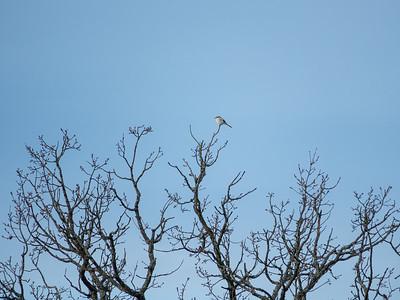 Lanius excubitor, Varfågel, Great Grey Shrike