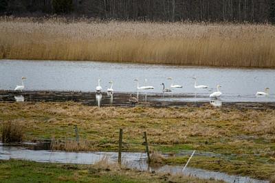 Cygnus cygnus, Sångsvan, Whooper Swan