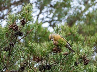 Loxia pytyopsittacus, Större korsnäbb, Parrot Crossbill