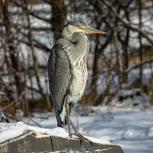 Ardea cinerea, Gråhäger, Grey Heron