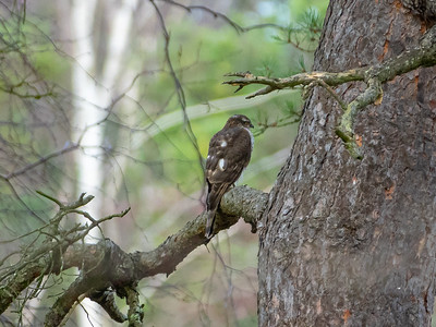Accipiter nisus, Sparvhök, Eurasian Sparrowhawk